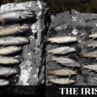 Harmful chemical spill suspected in Tipperary fish eliminate