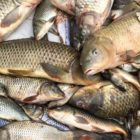 'We're even now shaking our heads': SA Carp Frenzy reels in 16,000 fish in one working day