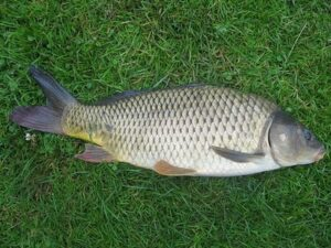 Shongweni carp fishing tips