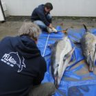 What you require to know about the hundreds of lifeless dolphins washing up on French beach locations