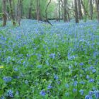 Bluebell festival, birding, spring walks make up a busy outdoors weekend at parks