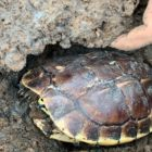 Distinctive Fishing   Uncovered Turtle from Top secret Gap Dry on dry period