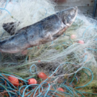Preserve our salmon, bass, mullet & sea trout – assist get the nets out of the Southern estuaries.