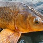 How to capture carp for the duration of the spawn – carp bait, carp rigs and guidelines and approaches.