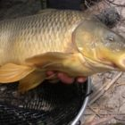 Circle Hooks and Bolt Rigs to Capture Widespread Carp from the Shoreline
