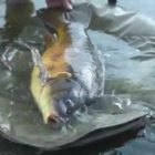 New movie! Large carp with Matt Hayes – amazing motion and assistance!