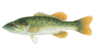 Redeye-Bass-appearance