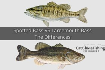 Spotted Bass VS Largemouth Bass The Differences