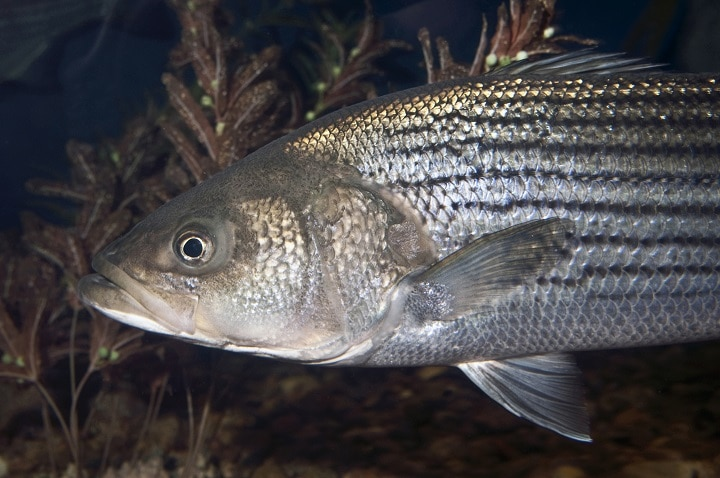 Adult Striped Bass close up facing left