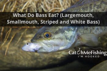 What do bass eat largemouth smallmouth striped white