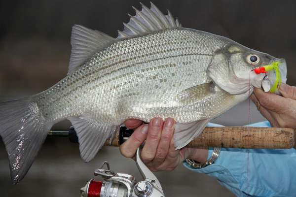 White Sand Bass What Do Bass Eat