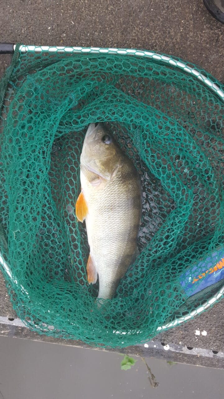 Perch in fishing net on the banks of a lake