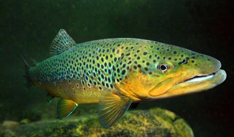 Brown trout under the water
