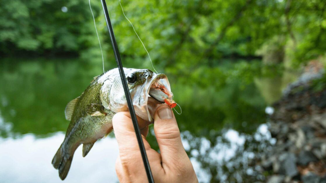 Bass fish with hook and holding