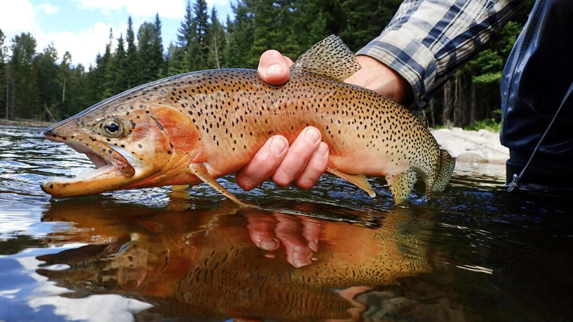 Cutthroat trout appearance held above the water