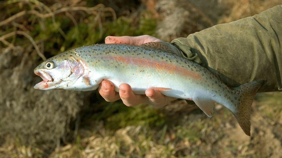 Rainbow trout appearance held above the water