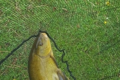 Foxhouses-wyre-parks-fishery-match-Carp-Length